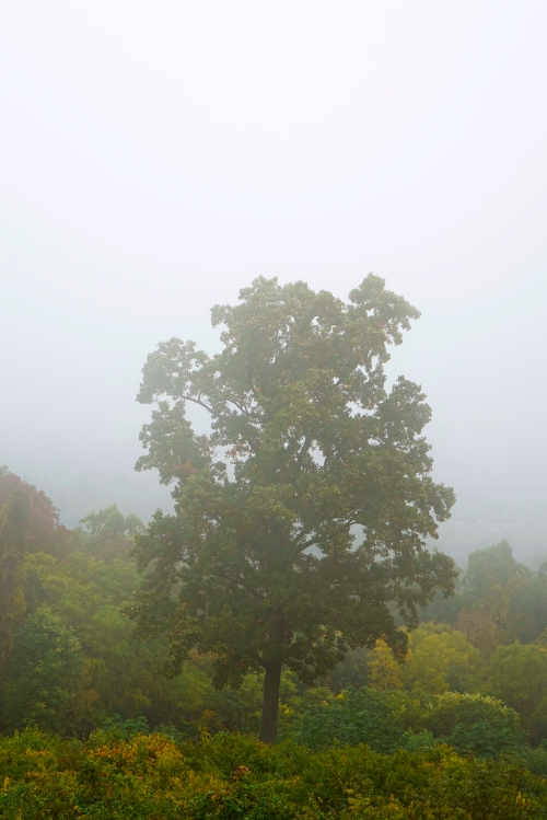 The lone tree sits in the fog.
