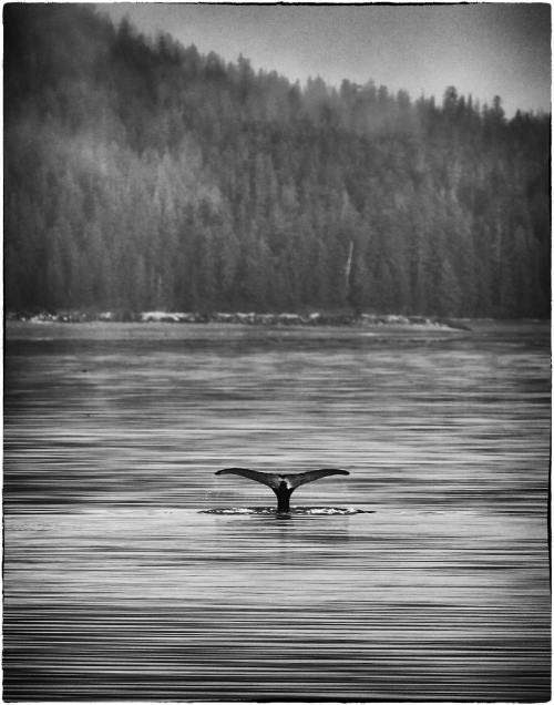Whale fluking in Alaska. Shot on the Lindblad Vessel, Sea Bird. Canon 1DSmk2 with 300mm 2.8 processed in Silver FX.